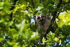 Hibou Moyen duc juvénile - Asio otus - Long-eared Owl (Franck Sebert) Tags: is mark ii owl 5d 28 duc longeared asio otus hibou 400mm moyen ef2xii ef14x