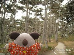 Cypress Grove Trail (tiramisu_addict) Tags: trees toys plush koala cypress pointlobos madebyme nori travelbuddy cypressgrovetrail susuten riceballpets onigiripetto