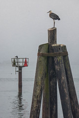 Channel Marker and Pilings (Tom Moyer Photography) Tags: ocean california heron birds bay pacific sonomacounty bodegabay greatblueheron sonomacoast