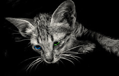 Cat is mysterious friend (Tiu Bm) Tags: cat kitty kitten heterochromia green blue eyes colorful pet animal blackandwhite bw art photography