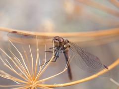 Libelula_02 (ciclope imagen) Tags: liblula macro fauna cclopeimagen todoslosderechosreservados