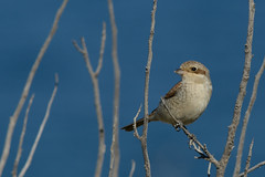 Red-backed Shrike Lanius collurio Samos  Greece 9 (JohnMannPhoto) Tags: redbacked shrike lanius collurio samos greece bird