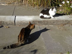 Cats showdown in our garden (Alta alatis patent) Tags: cats quarrel territory garden pets serious