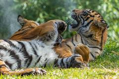 Cubs at Play (ToddLahman) Tags: sumatrantiger tigers tiger tigertrail tigercub sandiegozoosafaripark safaripark canon7dmkii canon canon100400 escondido