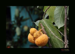 Dewya  [You may Endorse your country  Name of this fruit, will appriciate you, (HamimCHOWDHURY  [Active 01 Feb 2016 ]) Tags: life red portrait blackandwhite white black nature canon eos colorful faces sony surreal vaio rgb bangladesh gettyimages dlsr greenblue 60d incrediblebengal hamimchowdhury 595036 framebangladesh gettyimagesbangladeshq2 541114062011psdhaka