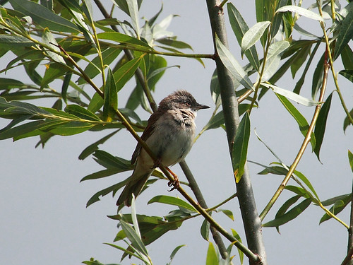 Dorngrasmücke / Whitethroat ♂ (Sylvia communis)
