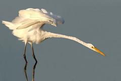 Ready to Strike! (Wayne Nelson) Tags: herons egrets greategrets wadingbirds portalwisconsinorgselected portalwisconsinorg062811