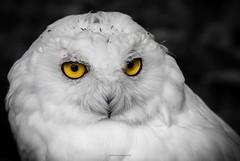 Eyes wide open... (bernd obervossbeck) Tags: portrait eyes augen snowowl schneeeule animalportrait eule arcticowl tierportrait