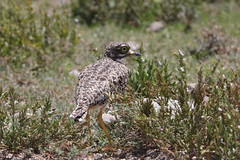 Wide-eye? No - thick-knee! (Sergei Golyshev (AFK during workdays)) Tags: africa park bird nature fauna tanzania african wildlife birding east telephoto national spotted savannah serengeti capensis природа парк птица stonecurlew burhinus thickknee африканская национальный фауна африка танзания восточная серенгети