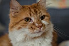 Sir Randall Fizzwiggle (Light Echoes) Tags: winter pet animal cat nikon katten kat feline gate chat gato katze cath  macska gatto  kot gat koka kedi kass fizzy  katt kissa maka kucing 2014 mo    d90 kat  miv randel kalo pisica kais    qattus    vighro sirrandellfizzwiggle