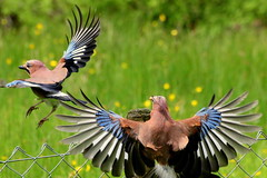 Canon EOS 70D.Canon 70-300mm Lens.Jay Action Study Through Glass.June 9t