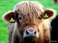 Curly Heid (mootzie) Tags: pink hairy nose ginger cow eyelashes aberdeenshire scottish tags highland curly