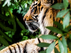 Eye of the Tiger (paulbakermedia) Tags: uk england paul photography zoo photo media baker wildlife tiger dudley bengal paulbakermedia