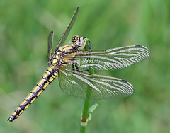 Black-tailed skimmer (Roger H3) Tags: insect dragonfly skimmer odonata blackttailed
