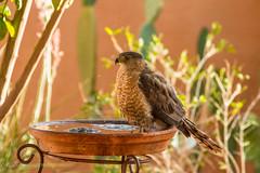 Too Hot to Hunt (vagabond05) Tags: adult raptors coopershawk