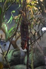 Portland, OR - Washington Park - Oregon Zoo - Africa - Predators - Chameleon (jrozwado) Tags: northamerica usa oregon portland zoo washingtonpark reptile chameleon predator serengeti africa