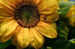 Marienkfer (balu51) Tags: sonnenblumen blume blte marienkfer gelb rot herbst sunflower flower bloom ladybug yellow red autumn fall 100xthe2016edition 100x2016 image65100 september 2016 copyrightbybalu51