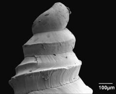 Gastropoda Vermicularia spirata (MaKuriwa) Tags: gastropoda moluscos