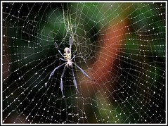 Golden Orb Spider and Web