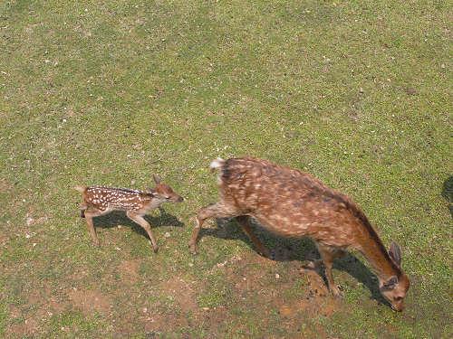 母子鹿の特別公開@鹿苑角きり場-17