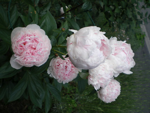 Light pink double peony 2