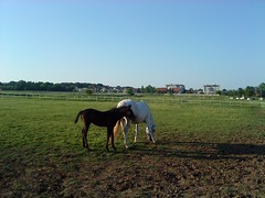 daughter and mother (jecadim) Tags: horse sunlight daughter mother hippodrome foal majka hipodrom konj ćerka ždrebe