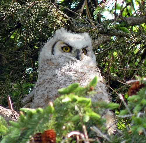 EBF owlet