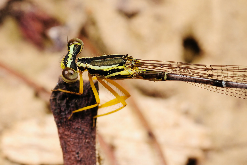 脛蹼琵蟌 Copera marginipes