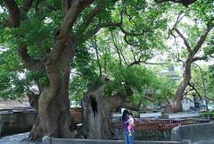 苗栗縣公館鄉有樟樹與茄苳兩巨木一起生活了約300年,是至死不渝的老朋友。圖片來自:林務局。
