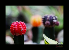 Cactus (HamimCHOWDHURY  [Active 01 Feb 2016 ]) Tags: life red portrait blackandwhite white black nature canon eos colorful faces sony surreal dhaka vaio rgb bangladesh gettyimages dlsr greenblue 60d incrediblebengal hamimchowdhury 595036 framebangladesh gettyimagesbangladeshq2 545514062011ps