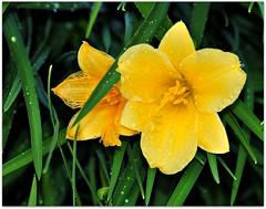 To pretty to hide.... (Stella Blu) Tags: flowers stella canada floral yellow blu flowering fiori blume blooming fior pregamewinner gamesweepwinner