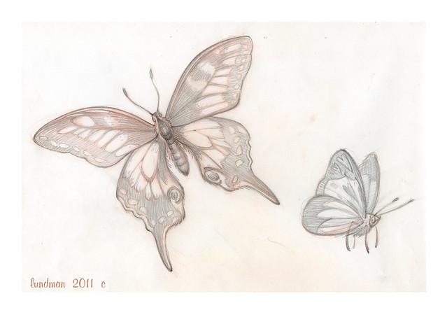 Lundman_butterflystudies005