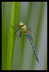 Emperor Dragonfly (c75mitch) Tags: fly dragon dragonflies dragonfly emperor imperator anax anaximperator emperordragonfly c75mitch