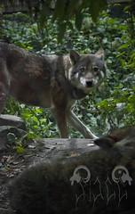 Diergaarde Blijdorp (RottenStagg) Tags: holland zoo blijdorp wolf nederland eurasian nederlands diergaarde rottedam eunectes notaeus
