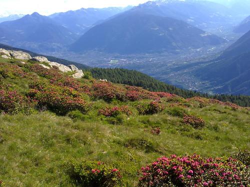 Blühende Alpenrosen mit Blick auf Meran und das Vinschgau