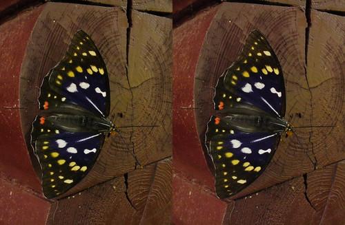Sasakia charonda, stereo parallel view