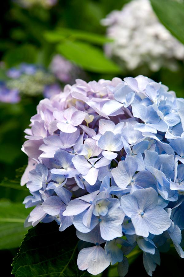 紫陽花(青と紫)|福井県若狭町