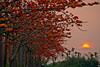 日落木棉道 - Sunset on Silk cotton kapok road - Linchu Reservoir - Baihe township - Tainan (prince470701) Tags: taiwan tainan 台南 木棉花 白河 sigma70300mm silkcottonkapok baihetownship sonya850 林初埤 linchureservoir