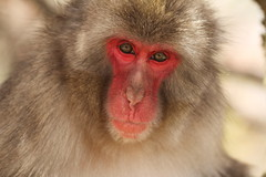 Portrait (Teruhide Tomori) Tags: animal japan monkey kyoto arashiyama  saru  iwatayama  nihonzaru blinkagain snowymonkey highqualityanimals