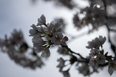 IMGP6911 (Amad) Tags: flower japan spring   sakura kiryu