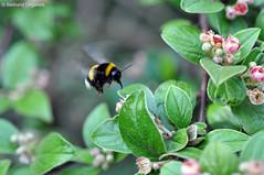Flying Bumblebee (Bertrand Ongaretti) Tags: en macro nature fleurs insect fly flying nikon bumblebee f micro 28 vol 40mm nikkor bertrand bourgeon bourdon d90 volant ongaretti