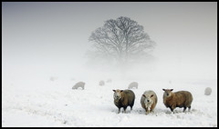 sheep (c.richard) Tags: trees winter mist snow sheep somerset wintersday mendips midsomernorton stoneaston chewtonmendip