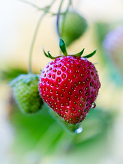 From the garden (janeway1973) Tags: garten garden pflanzen plants erdbeere strawberry macro makro