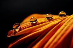 Petali riflessi nelle gocce (Petals reflex in the drops) (Giuseppe Oricchio) Tags: drops reflex macro 40mm nikon flowers reflexinthedrops coloseups closerandcloser micro orange black giuseppeoricchio