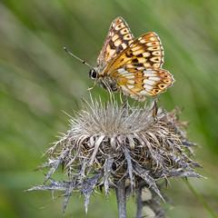 Hamearis lucina (Sinkha63) Tags: france macro nature animal butterfly die wildlife ngc lepidoptera papillon getty vercors fra gettyimages dukeofburgundy rhônealpes lucine riodinidae hamearislucina riodininae hamearis annesorbes