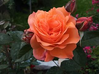 Orange rose of my garden