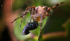 Munch Munch (Caleb4ever { ON VACATION }) Tags: caleb4ever macro spider spidereating spiderwithprey colourfull detail hairs closeup light nature
