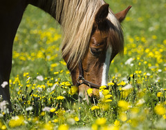 "Horse in flower (Vidar ""the Viking"" Ringstad, Norway) Tags: summer warm sun sunshine flower gras eating yellowflower whiteflower ears eye hair fur horse pov animal nature naturepic natureshot shadow canoneos5dmkiii lillestrm srumfritidsgrd norge norway norwegen"