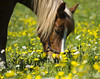 "Horse in flower (Vidar ""the Viking"" Ringstad, Norway) Tags: summer warm sun sunshine flower gras eating yellowflower whiteflower ears eye hair fur horse pov animal nature naturepic natureshot shadow canoneos5dmkiii lillestrøm sørumfritidsgård norge norway norwegen"