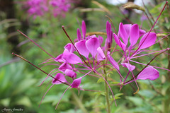 Serie Flores Topotepuy (Joycer Gonzlez) Tags: flores morado flora joycer topotepuy naturaleza caracas flor planta jardin